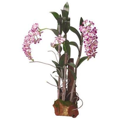 Dendrobium W/Root Base