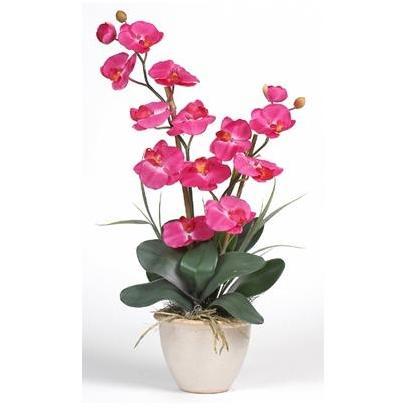 Double Stem Phalaenopsis
