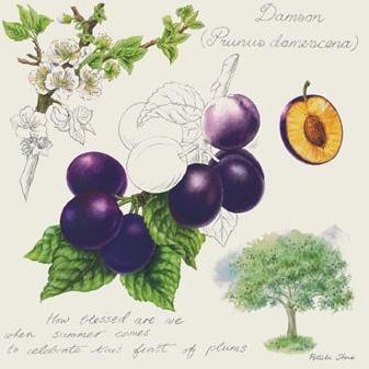 Damson Plum Poster Print